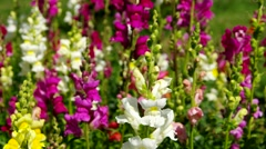 Snap Dragon flowers in the summer Stock Footage