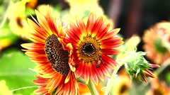 Sunflowers in the Wind. Stock Footage
