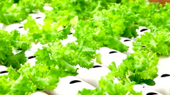 Hydroponic vegetable is planted in a garden, HD 1080P Stock Footage