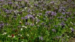 Field of Phacelia flowers in summer Stock Footage