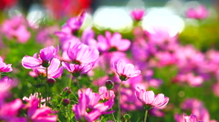 HD: Field of pink flowers in the garden, 1920x1080 Stock Footage