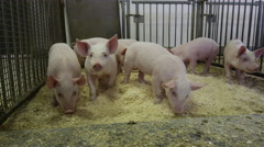 Steadicam Shot of Pigs and Piglets in a Barn - Agriculture and Farming Stock Footage