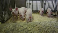 Steadicam Dolly In to Show Piglets in a Pig Pen Stock Footage