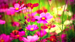 HD: Field of pink flowers in beautiful day, 1920x1080 Stock Footage