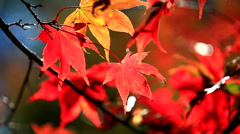 HD: Autumn red maple leaves with foliage in the background, 1920x1080 Stock Footage