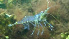 Swimming shrimp Stock Footage
