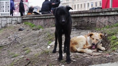 Two stray dogs outdoors play Stock Footage