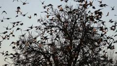 Flock of Birds Common blackbird (Turdus merula ) 2 Stock Footage