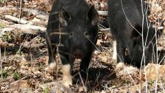 Wild Pigs 5 Litle Wild Boars Shot in Closeup Stock Footage