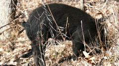Wild Pigs Digging in the Forest Noise for Food Stock Footage