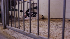 Ultra HD Steadicam Shot of Baby Cows in a Barn - Agriculture and Farming Arkistovideo