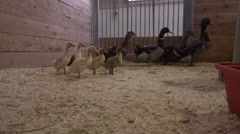 Baby Ducks in a Farm - Barn indoors in the spring Stock Footage