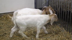 Baby Goats Running around a Barn in the Spring Stock Footage