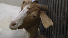 Farm Animal - Goat in a barn Stock Footage