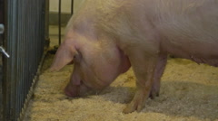 Stock Video Footage of Farming - Pigs in pens at a humane and responsible farm
