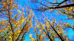HD: Golden ginkgo tree in blue sky, arrow town, new zealand, 1920x1080 Stock Footage