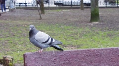 Pigeon sitting on a bench Stock Footage