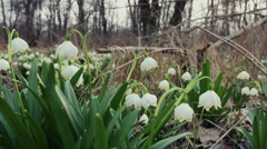 DOLLY MOTION: Snowdrops in the spring forest Stock Footage