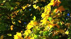 HD: ginkgo tree branch in autumn, 1920x1080 Stock Footage