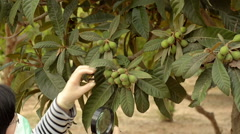 Botanist studying at loquat foliage Stock Footage