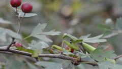 Praying mantis  is walkig  in the grass Stock Footage