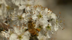 Honey bee (Apis mellifera) on common hawthorn flowers (Crataegus monogyna). Stock Footage