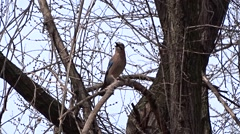 Jay on a tree Stock Footage