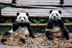 Panda duo sitting and eating bamboo Stock Photos