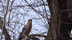 Jay on a tree - stock footage