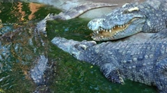 Crocodile slowly sinking into the water. Stock Footage