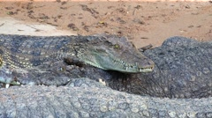 Attentive crocodile. - stock footage