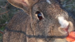 Rabbit - Feeding - 04 - Very Close Up - Loop Stock Footage