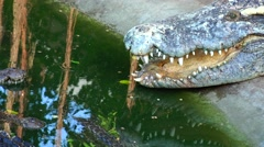 Crocodile with open mouth. Stock Footage