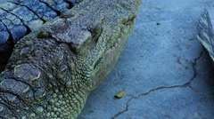 Crocodile laid his head on the tail of his girlfriend. Stock Footage