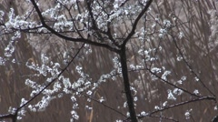 Flowering tree with reeds on the background - Biotop Castelfeder Stock Footage