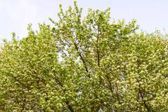 apple tree in blossom - stock photo