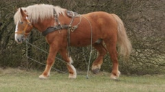 Big brown horse on a leash motion on a meadow Stock Footage