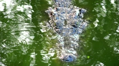 Crocodile swims slowly across the surface of dangerous jungle. Stock Footage