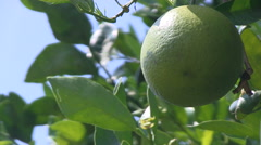 Green orange on a tree Stock Footage