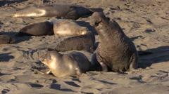 Elephant Seals on the Beach Stock Footage