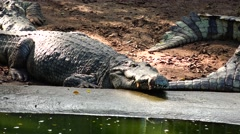 Crocodile thousands of years old. Stock Footage