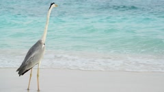 Gray Heron walks on the beach, South Male Atoll. Maldives Stock Footage