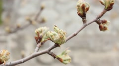Buds on pear tree in spring day Stock Footage