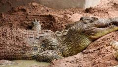 Crocodile takes therapeutic mud baths. Stock Footage