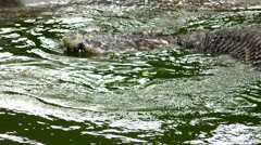 Crocodile which has reduced the tail. Stock Footage