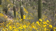 4K Beautiful Arizona Desert Flowers Saguaro Cactus Spring Stock Footage