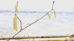 Symbolism of spring, a branch of hazel Stock Footage
