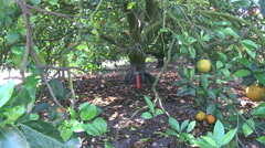 Irrigation in an orange grove in Central Florida Stock Footage