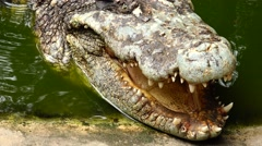 Open mouth of a crocodile more like a dinosaur. Stock Footage