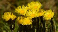 Coltsfoot, Tussilago farfara, medicinal plant Stock Footage